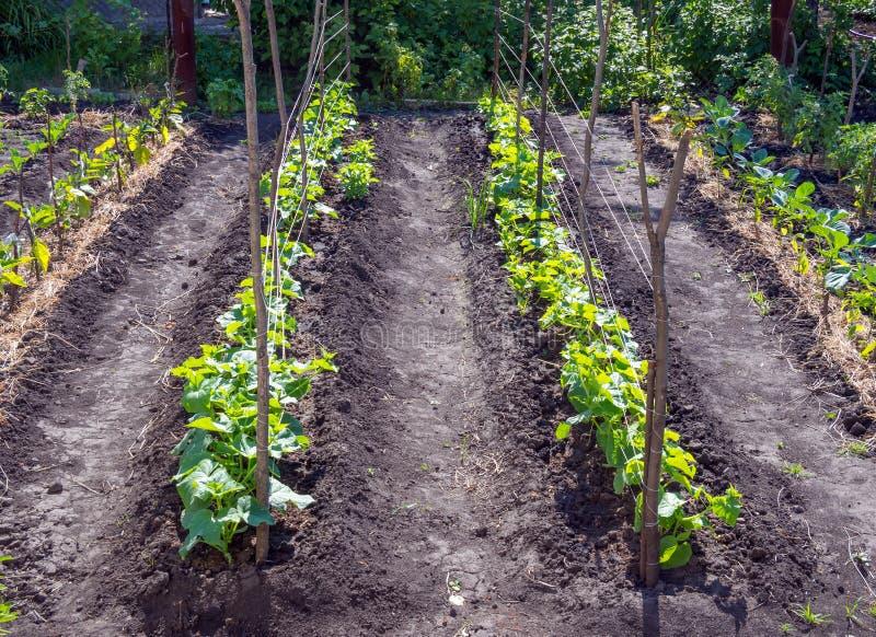 Pali e vicoli allungati fra loro nel giardino con i giovani cetrioli fotografie stock