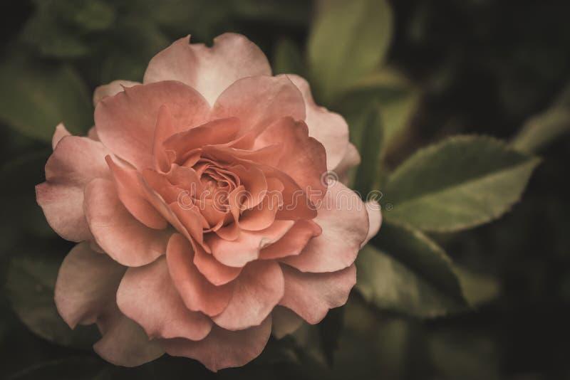 Palidezca color de rosa en oscuridad fotografía de archivo libre de regalías