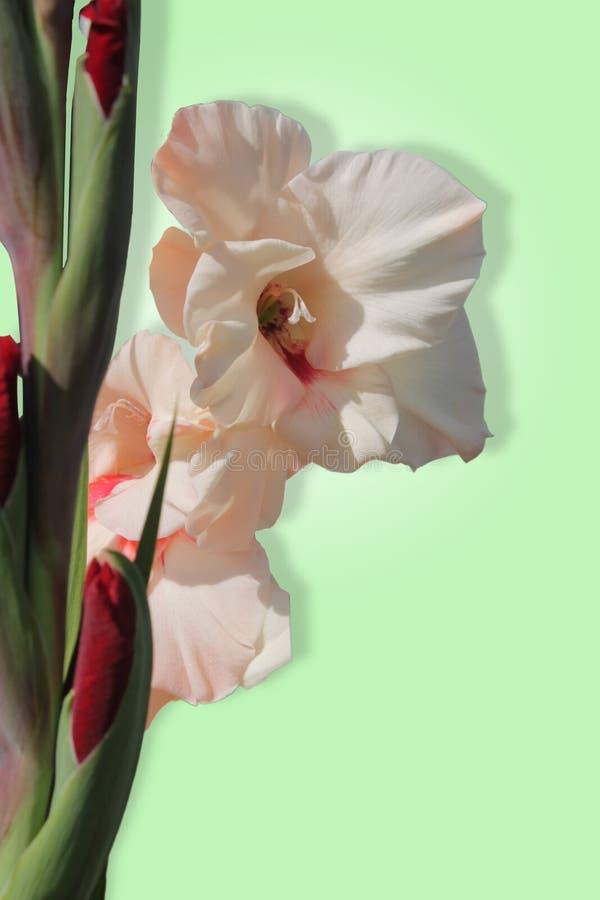 Palidezca - el gladiolo rosado fotos de archivo libres de regalías