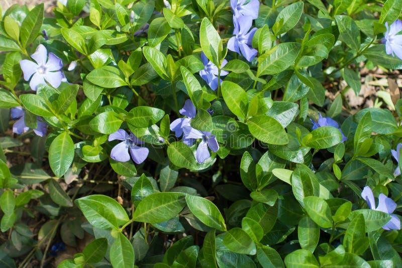 Palidezca las flores púrpuras del menor del vinca en primavera fotos de archivo libres de regalías