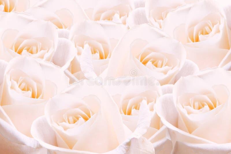 Palidezca - las rosas rosadas. imagen de archivo
