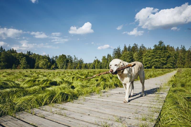 Palillo de la tenencia del perro en boca fotos de archivo libres de regalías