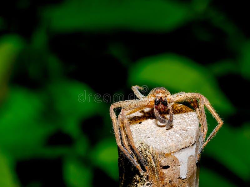 Palillo salvaje de la muda de la araña de Brown encima de la madera con el fondo verde y oscuro en el bosque imagen de archivo