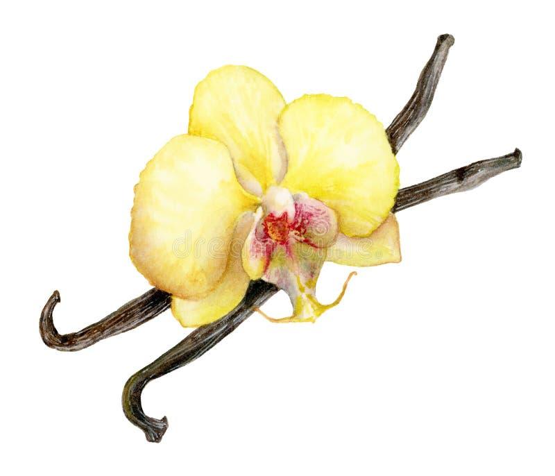 Palillos de la vainilla y ejemplo de la acuarela de la flor de la vainilla imágenes de archivo libres de regalías