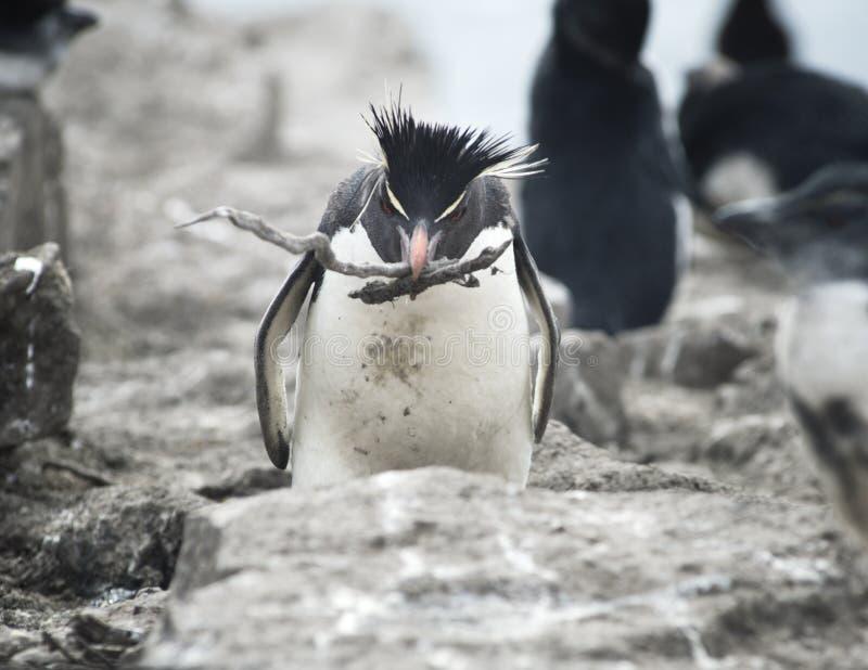 Palillos que llevan del pingüino de Rockhopper a su Mate On The Nest foto de archivo