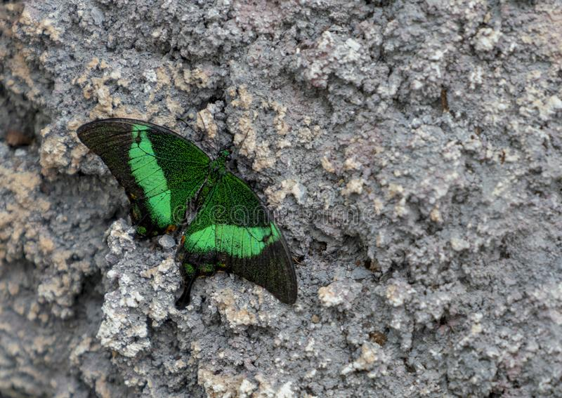 Palinuro di Papilio che si siede su di pietra/roccia immagine stock libera da diritti