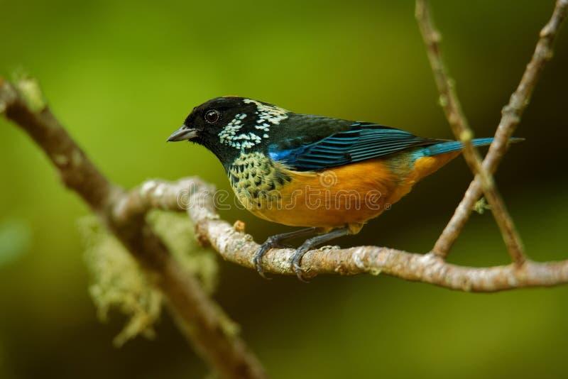 Paljett-vara fräck mot Tanager - passerine fågel för Tangara dowii, endemiskinvånareavelsdjur i högländerna av Costa Rica och Pan royaltyfri foto