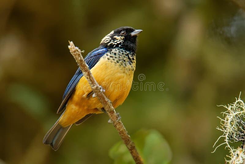 Paljett-vara fräck mot Tanager - passerine fågel för Tangara dowii, endemiskinvånareavelsdjur i högländerna av Costa Rica och Pan royaltyfria foton