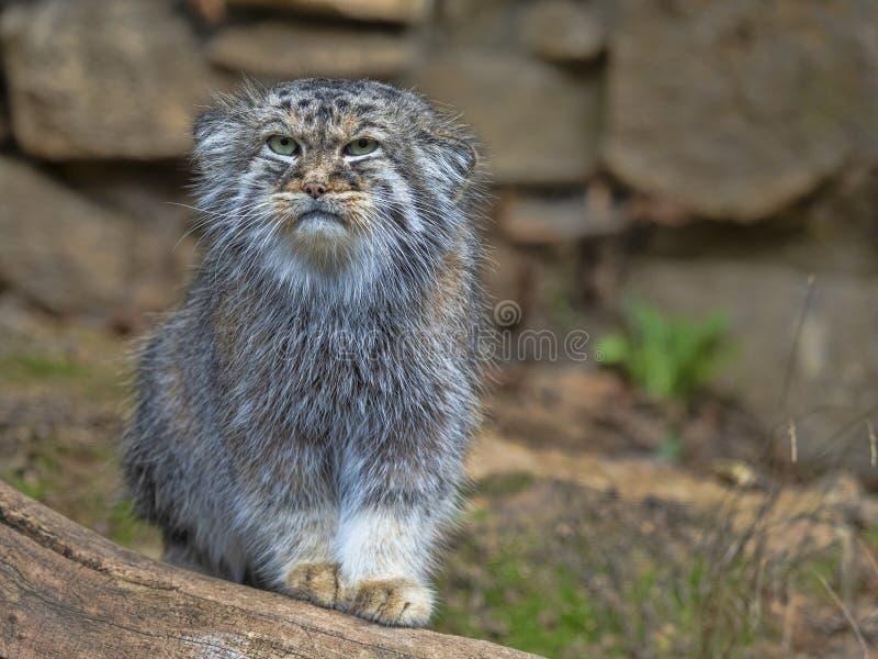 Pallas `猫, Otocolobus manul,男性的画象 库存照片