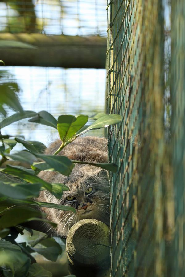 Pallas Cat photographie stock libre de droits