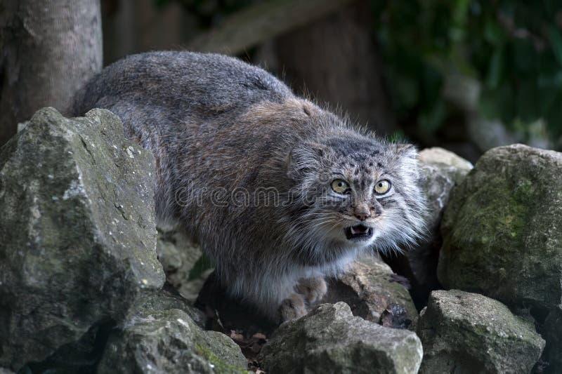 Pallas Cat (Felis Manul) royaltyfri bild