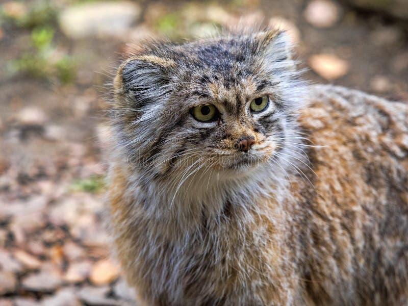 Pallas` cat, Otocolobus manul, a beautiful mountain cat stock images
