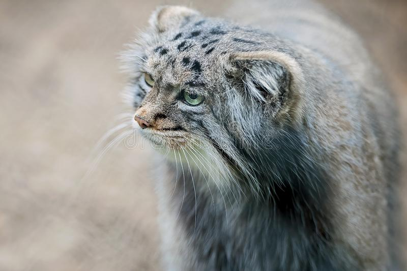 Pallas cat Otocolobus manul. Manul is living in the grasslands and montane steppes of Central Asia.  Portrait of cute furry. Pallas cat Otocolobus manul. Manul stock images