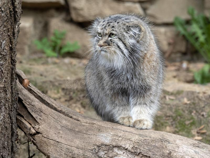 Pallas` cat, Otocolobus manul, one of the most beautiful cats royalty free stock photos
