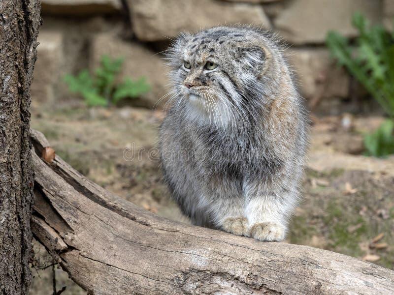 Pallas` kat, Otocolobus manul, één van de mooiste katten royalty-vrije stock foto's