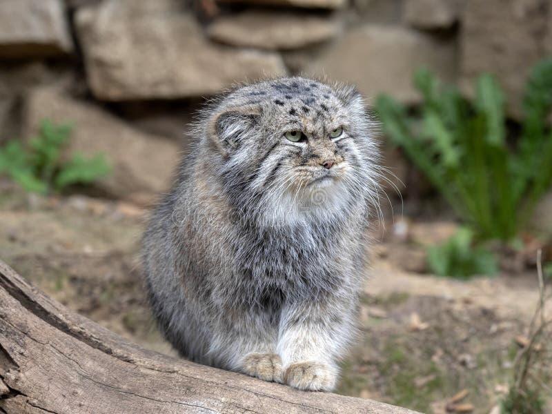 Pallas` kat, Otocolobus manul, één van de mooiste katten royalty-vrije stock afbeelding
