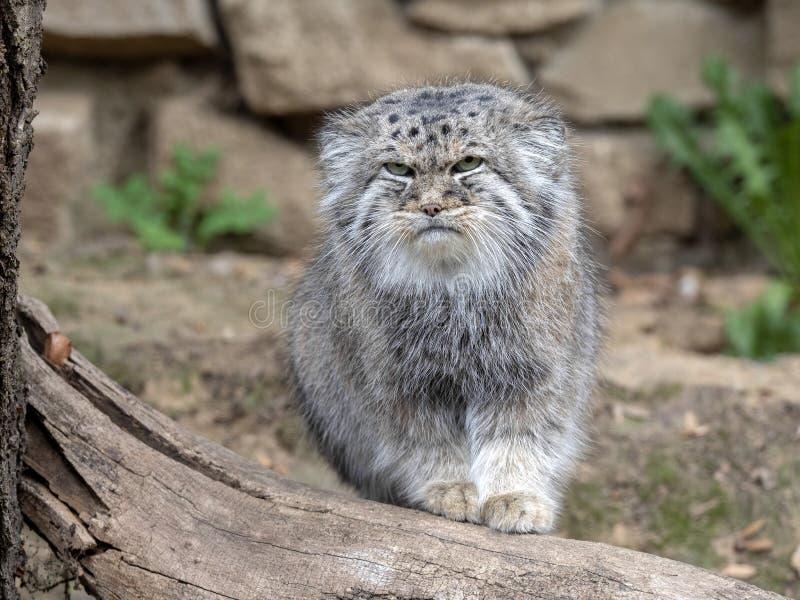 Pallas` kat, Otocolobus manul, één van de mooiste katten stock afbeeldingen