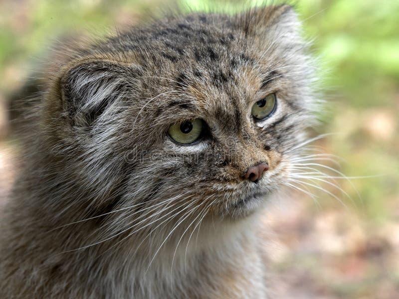 Pallas` kat, Otocolobus manul, één van de mooiste katten royalty-vrije stock foto