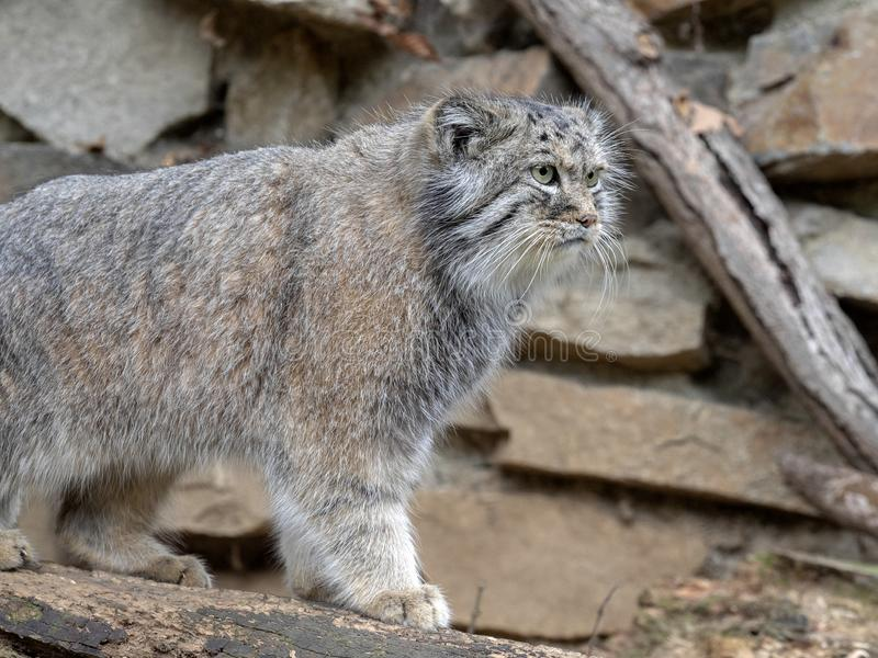 Pallas` kat, Otocolobus manul, één van de mooiste katten stock foto's