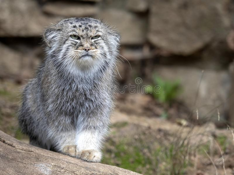 Pallas` kat, Otocolobus manul, portret van een mannetje royalty-vrije stock fotografie