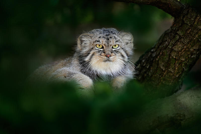 Pallas`s cat or Manul, Otocolobus manul, cute wild cat from Asia. Manul hidden in green tree leaves. Wildlife scene from the royalty free stock photos