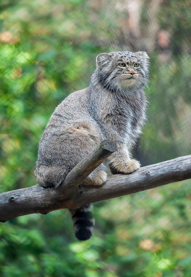 Pallas cat Otocolobus manul. Manul is living in the grasslands and montane steppes of Central Asia. Portrait of cute furry. Adult manul on the branches of a royalty free stock photos
