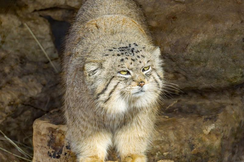 The Pallas`s Cat. Roanoke, Virginia USA – February 5th: The Pallas`s cat, also called manul, is a small wild cat on display at the Mill Mountain Zoo in royalty free stock images