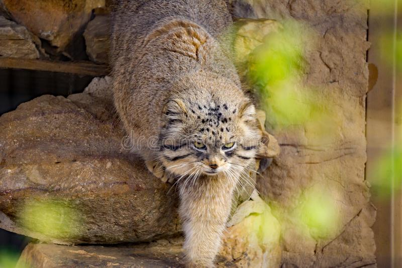 The Pallas`s Cat. Roanoke, Virginia USA – February 5th: The Pallas`s cat, also called manul, is a small wild cat on display at the Mill Mountain Zoo in stock photography