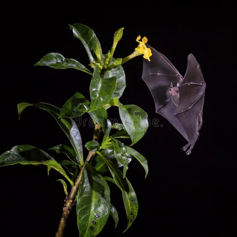 Pallas ` s Lång-spontade slagträet - den Glossophaga soricinaen fotografering för bildbyråer