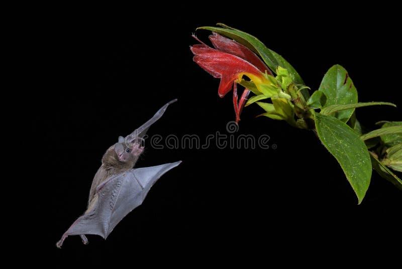 Pallas` s lang-Tongued Knuppel - Glossophaga-soricina royalty-vrije stock afbeelding