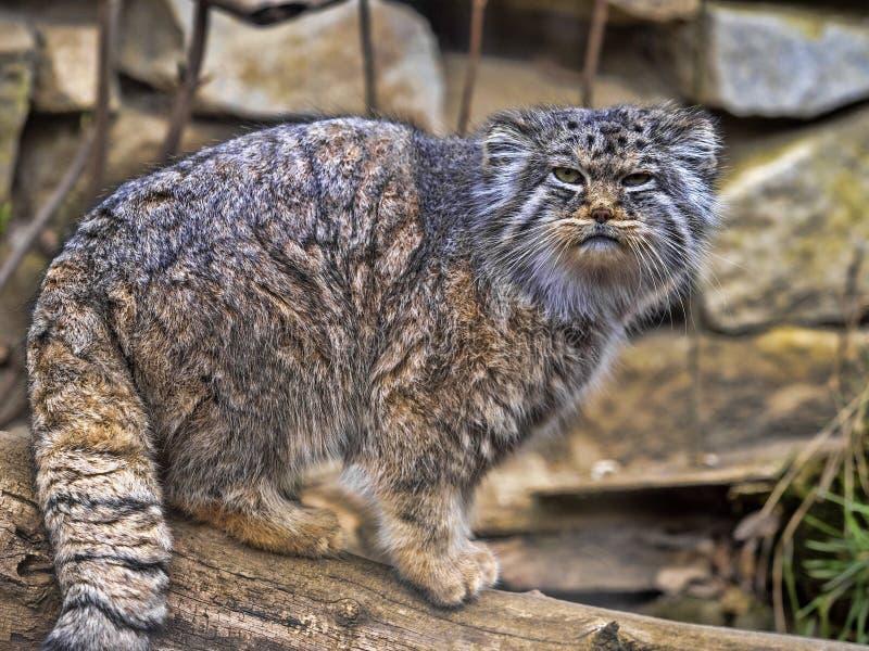 Pallass katt, Otocolobus manul, är en mycket härlig lodjur arkivbild