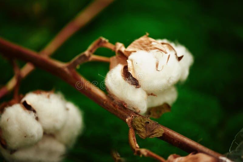 Palle di cotone su fondo vago fine fotografie stock libere da diritti