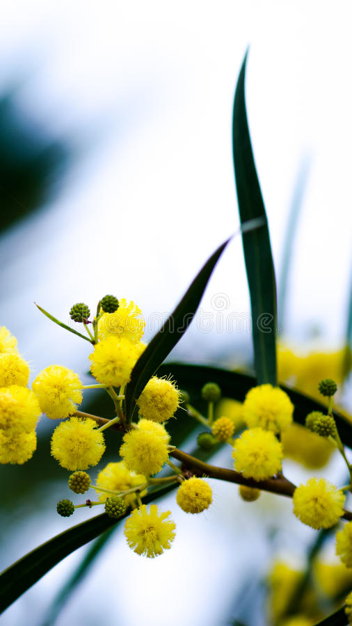Palle gialle del fiore della mimosa che ondeggiano nel vento immagine stock libera da diritti