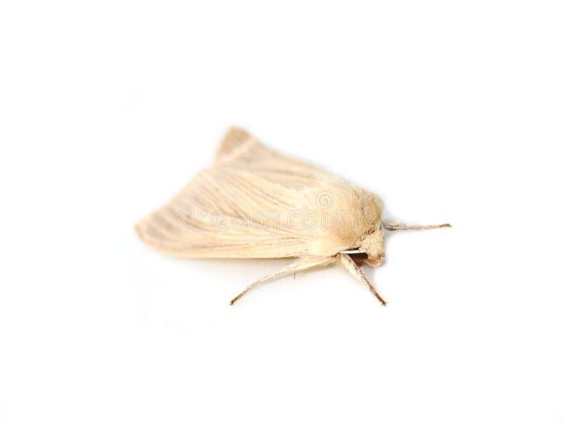 Pallens comuni di Mythimna del rivestimento del lepidottero pallido immagine stock