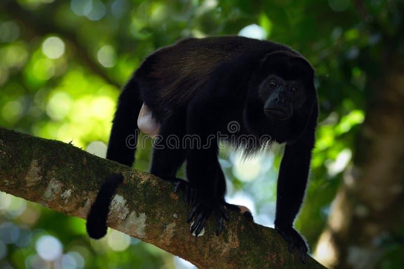 Palliata cubierto del Alouatta del mono de chillón en el hábitat de la naturaleza Mono negro en el mono del negro del bosque en e imágenes de archivo libres de regalías
