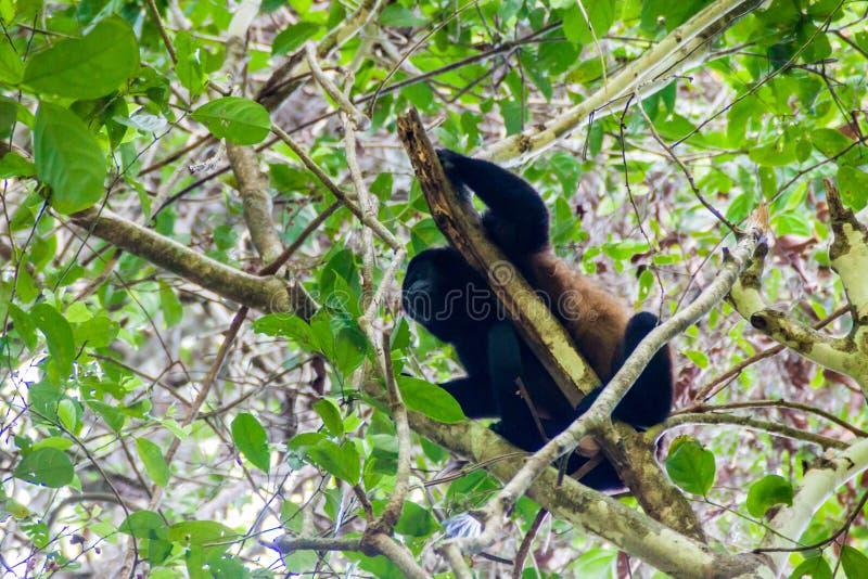 Palliata cubierto del Alouatta del mono de chillón en el parque nacional Manuel Antonio, Costa Ri fotografía de archivo libre de regalías