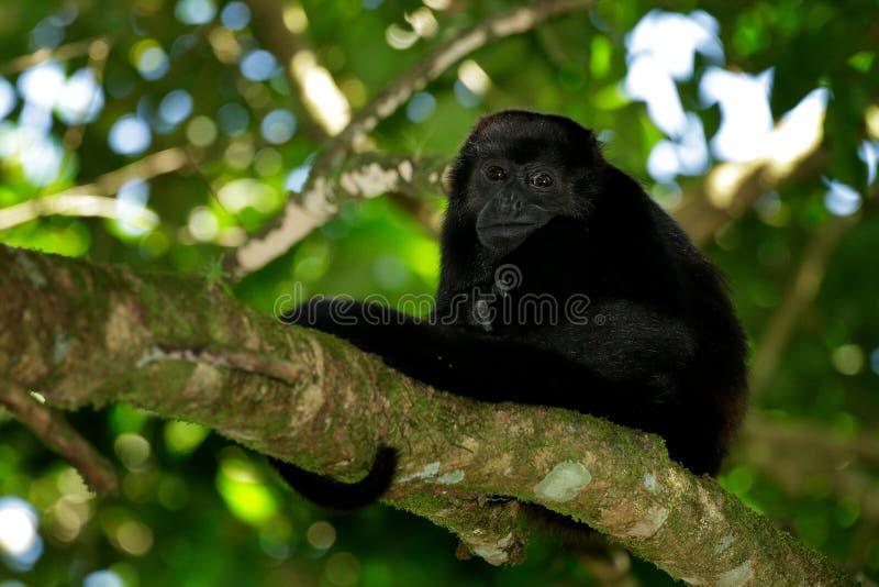Palliata envolvido do Alouatta do macaco de furo no habitat da natureza Macaco preto no macaco do preto da floresta na árvore Ani imagem de stock royalty free