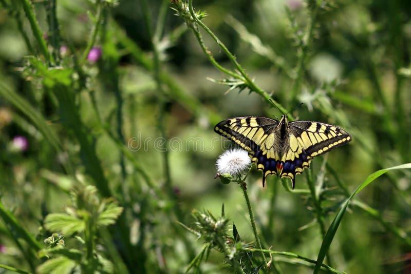 Pallid, pal swallowtail motyl/ zdjęcia stock