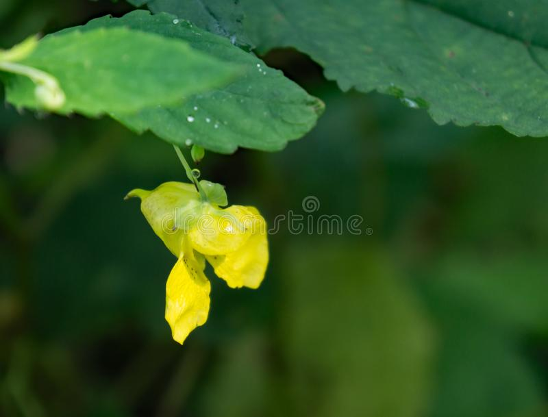 Pallida d'Impatiens d'†de Pale Jewelweed «  images libres de droits