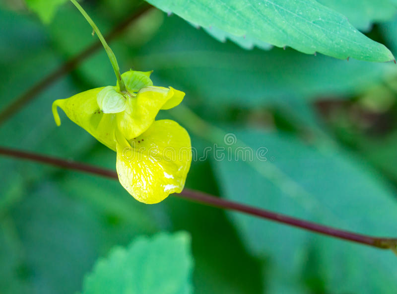 """Pallida de Impatiens del †amarillo del Jewelweed """" foto de archivo"""