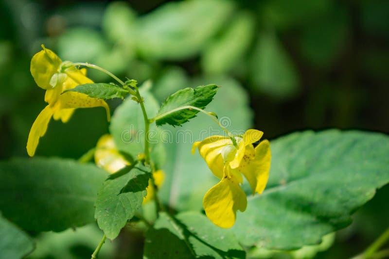 Pallida Impatiens желтого †Jewelweed « стоковые фото