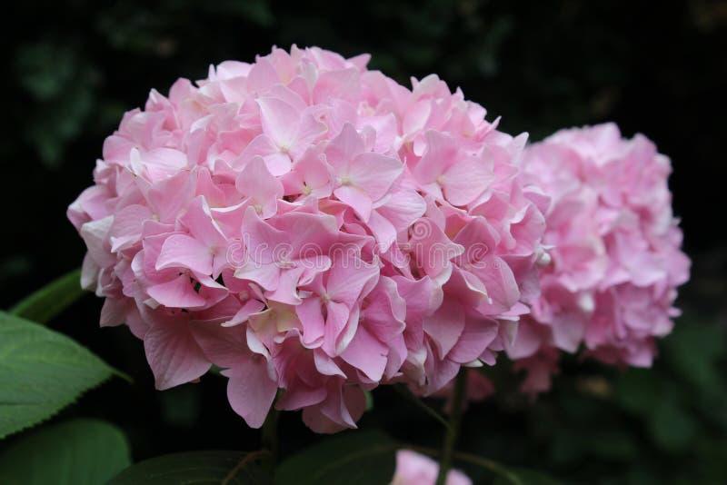 Pallido - fiori rosa di macrophylla dell'ortensia fotografia stock