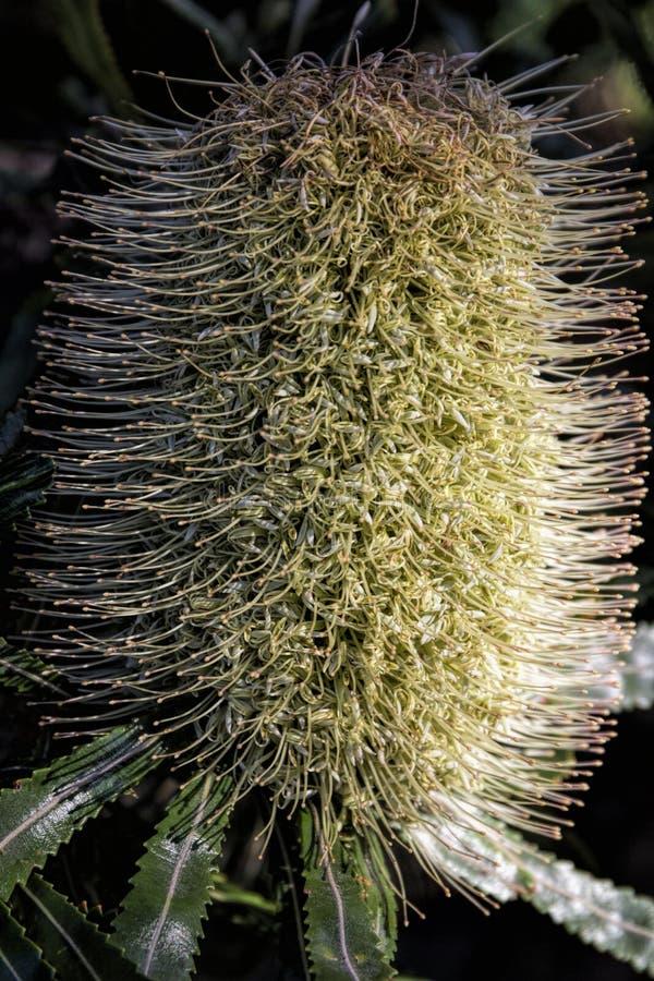 Pallidus Callistemon - κρεμ bottlebrush στοκ εικόνες με δικαίωμα ελεύθερης χρήσης