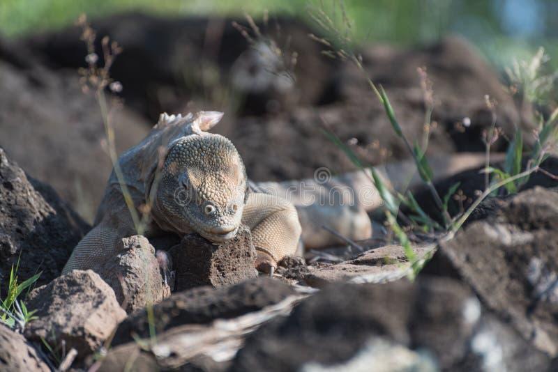Pallidus di conolophus dell'iguana terrestre delle Galapagos su Santa Fe Island, isole Galapagos, Ecuador fotografia stock