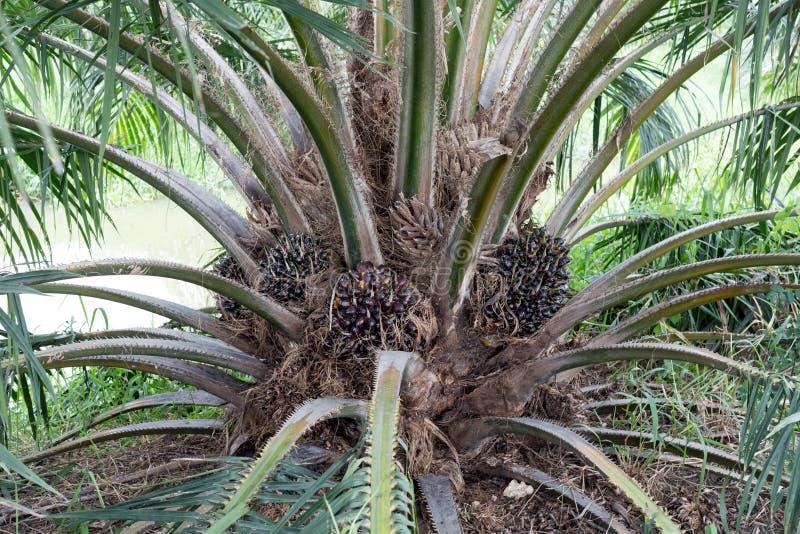 Palmölbaum, -landwirtschaft industriell und -bioenergie lizenzfreie stockbilder