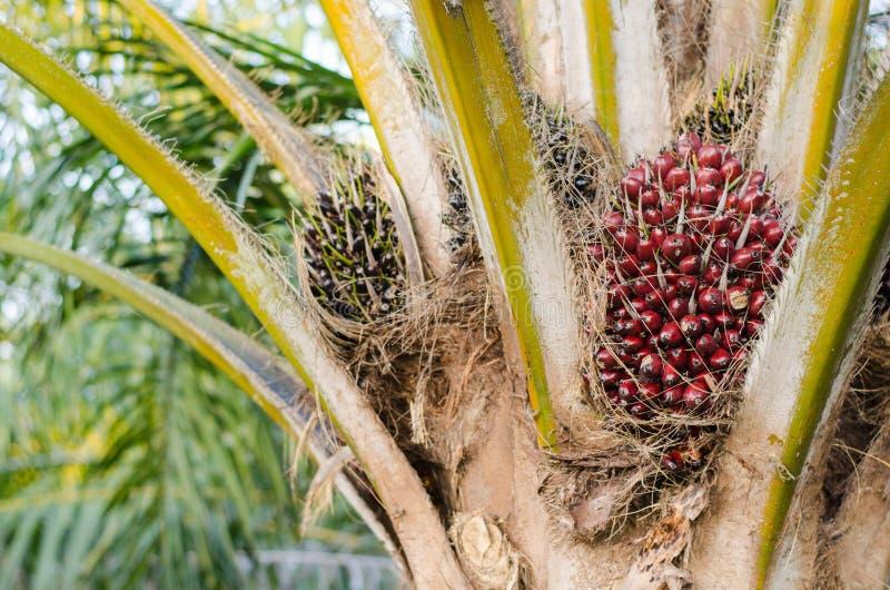 Palmölfrucht auf Baum stockfotos