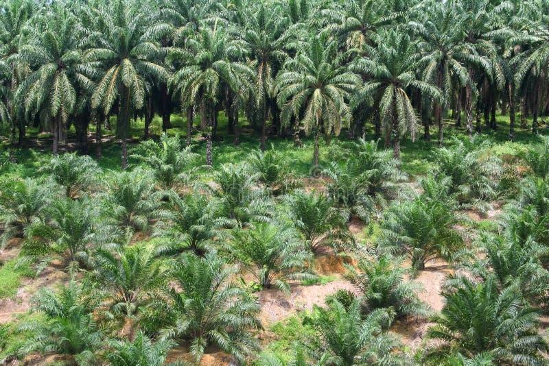 Palmölplantage stockfotos