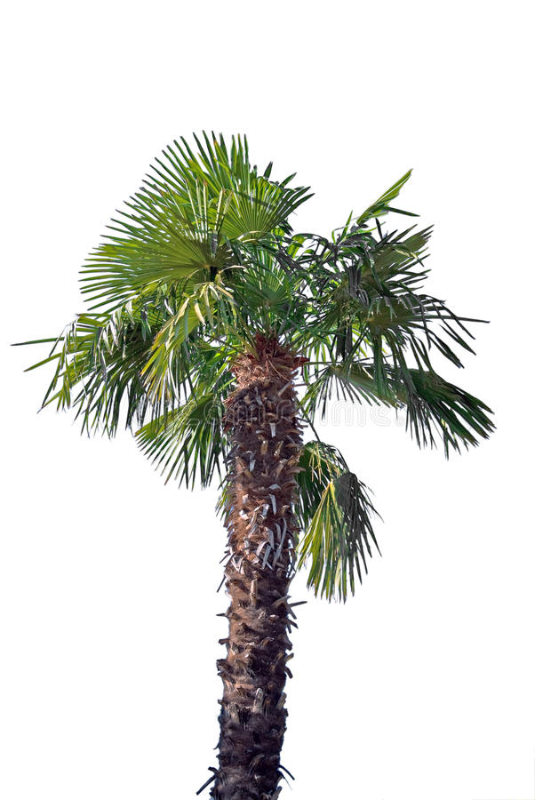 Palm. Tree isolated on white background stock photos