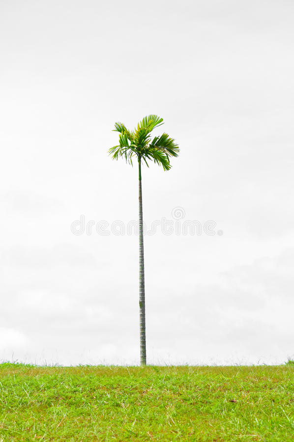 Download Palm stock photo. Image of island, evergreen, subtropical - 22871042
