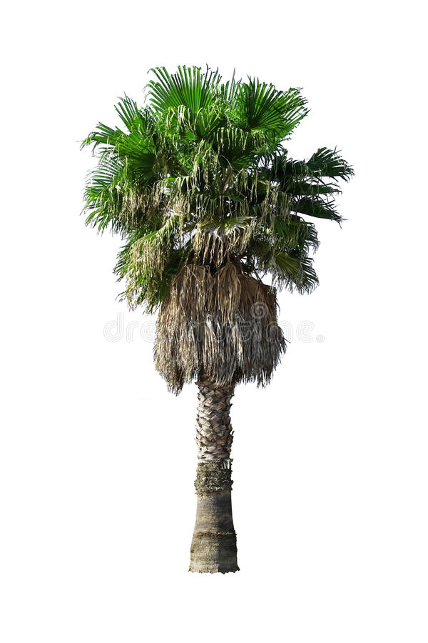 Download Palm stock photo. Image of isolated, tree, white, background - 27462068